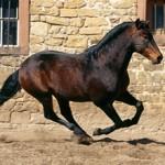 Альтер реал — изящная порода лошадей