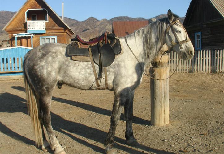 Рабочая алтайская лошадь
