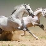 2 лошади бегут