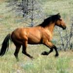 Кигер-мустанг — прекрасная и благородная порода лошадей