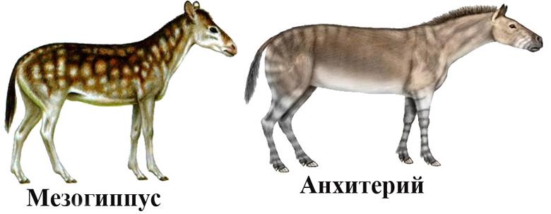 Мезохиппус, анхитерий