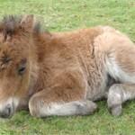 Фалабелла — описание и фото лошади