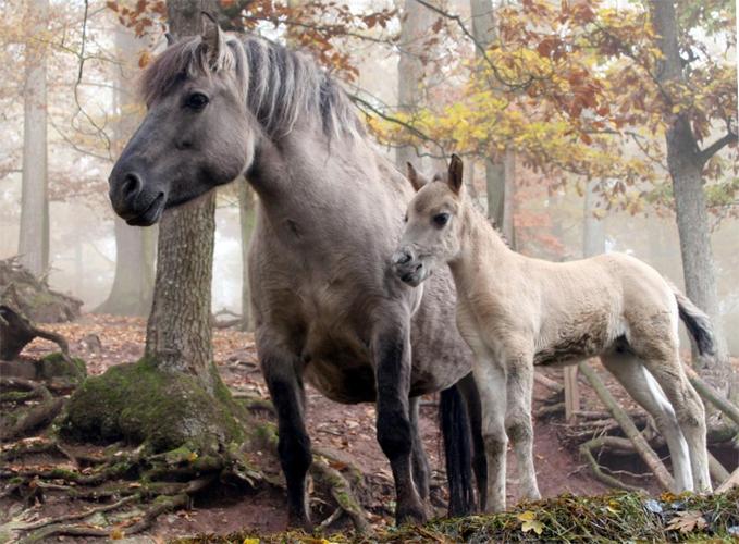 Лесная лошадь