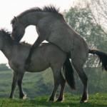 Случка лошадей: особенности и как происходит