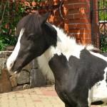 Черной белый конь