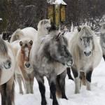 Якутские лошадки