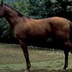 Кустанайская порода лошадей: фото и описание