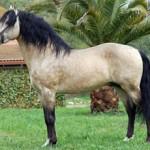 Лошадь лузитанской породы(Лузитано)