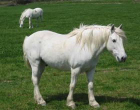 Камаргинская порода лошадей