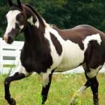 Пинто — описание и фото породы лошади