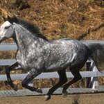 Голштинская порода лошадей: история, характеристика, фото
