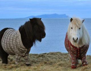Смешные исландские пони
