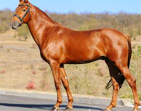 Лошадь рыжей масти