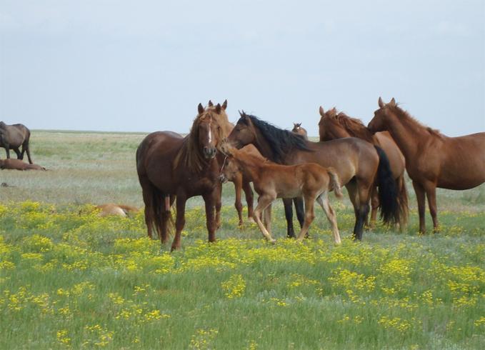 Калмыцкая порода лошадей