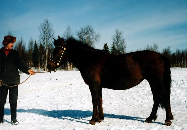 Мезенский конь зимой