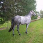 Сивая масть лошади — описание масти