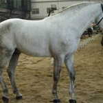 Андалузская порода лошадей.Описание и фото породы