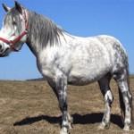 Алтайская порода лошадей: история и описание