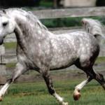 Серая в яблоках масть лошади(подмасток)