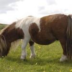 Шетлендский пони: история, описание, особенности