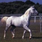 Липицианская порода лошадей