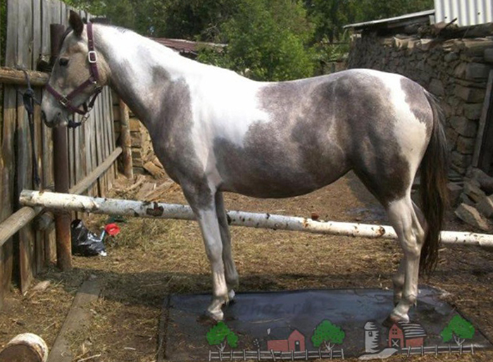 Серо-пегая лошадь