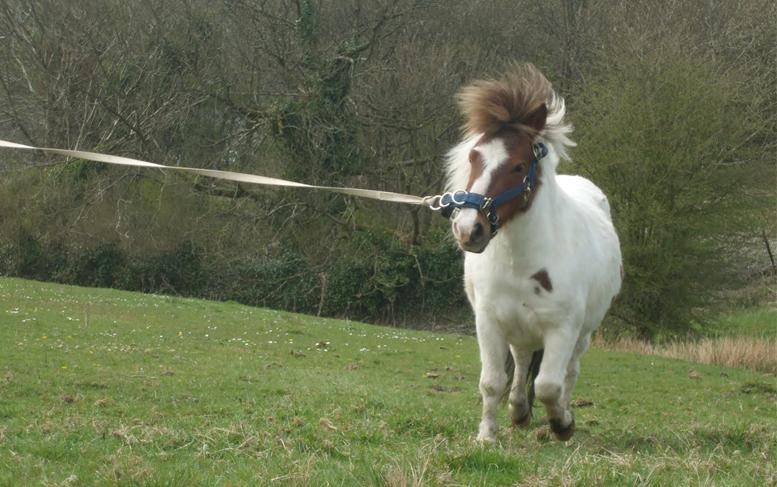 Шетлендский пони в поле