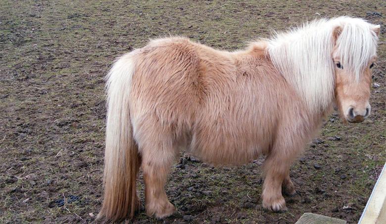 Взгляд Шетлендского пони
