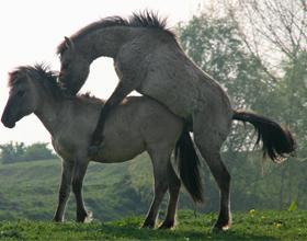 Случка лошадей