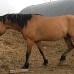 Вятская порода лошадей.Описание и история породы