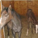 Содержание лошадей в домашних условиях