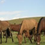 Лошади кушают