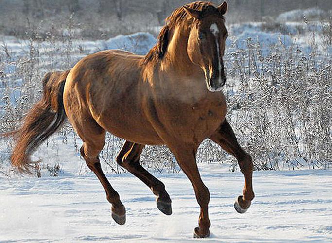 Кустанайская лошадь в бегу