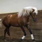 Лошадка Лузитано