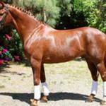 Вестфальская порода лошадей.Описание и фото породы
