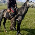 Киргизская порода лошадей