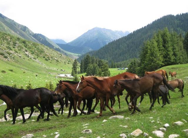 Стадо лошадей в Киргизии