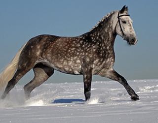 Рысак бежит в снегу