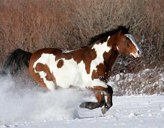 Пинто в снегу