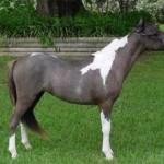 Американская миниатюрная лошадь