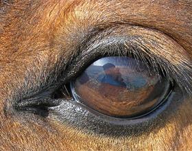 Зрение лошади