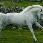 Коннемара пони: происхождение, описание, фото
