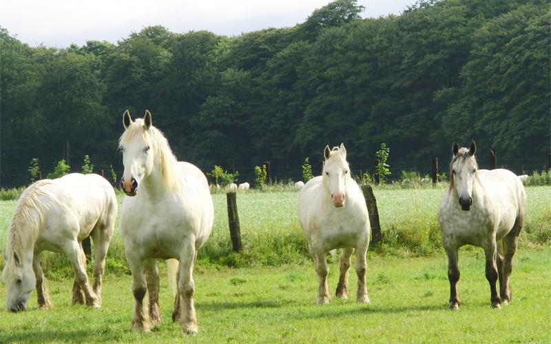 Булонские лошади