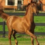 Калмыцкая порода лошадей: описание и фото