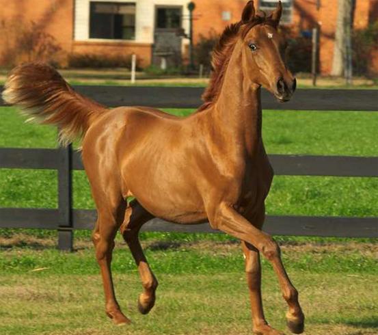 Калмыцкий конь