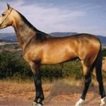 Буланая масть лошади: описание фото