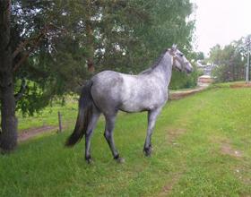 Сивая масть лошади