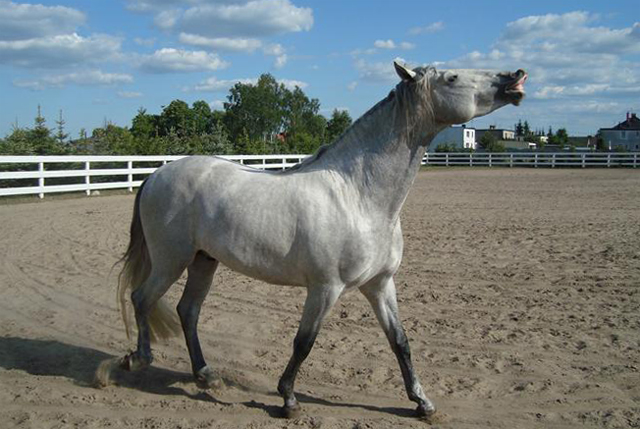 Сивая лошадь
